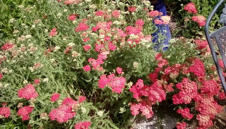 Red or pink yarrow. Unknown species.