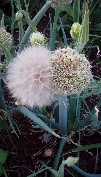Bunching onion and western salsify heads. Taken 18 June 2020, in SW Idaho. Seeds.