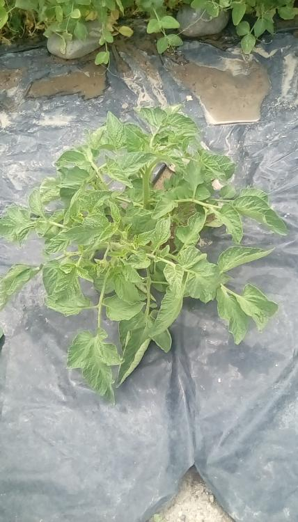 Tart Brandy Boy cross F3 from fruit #1. PL tomato plant.