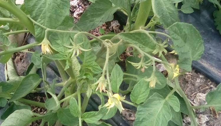 Tart Brandy Boy cross F3. PL tomato plant with flowers.