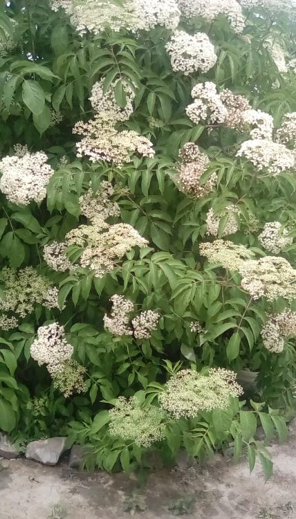 Elderberry bush in bloom. Taken 20 June 2020.