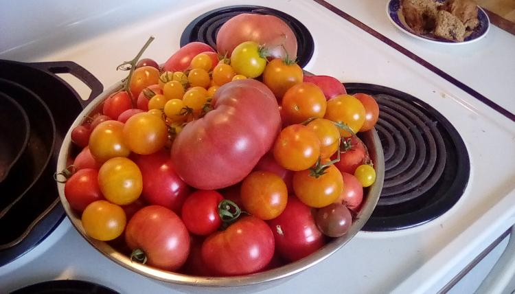 Stainless steel bowl of garden tomatoes on stove. Late July 2020.