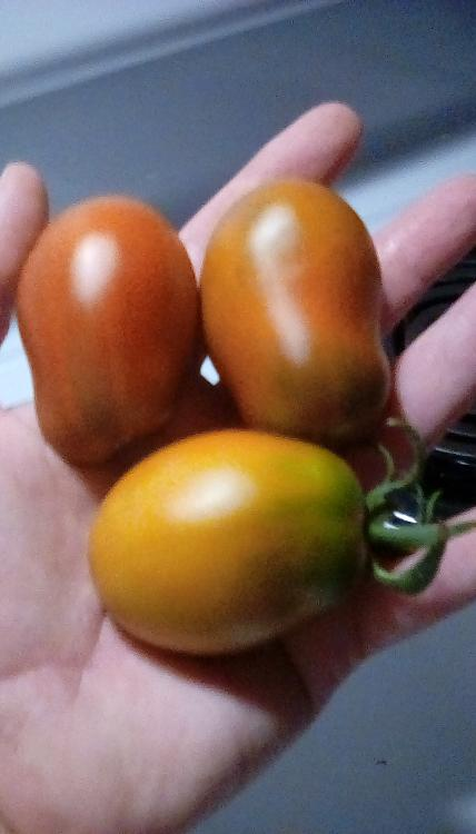 Cherokee Yellow Red Pear tomatoes in hand. August, 2020.