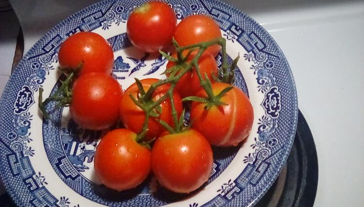 Moneymaker tomato fruits, whole. 25 August 2020.