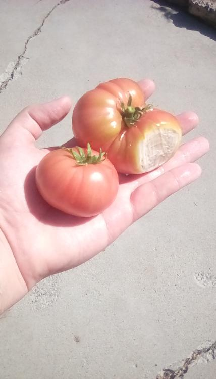TIdy Rose F1 tomato fruits; the largest one has sunscald.