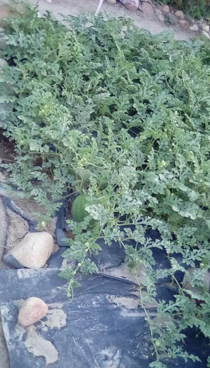 Watermelon plants on black plastic in SW Idaho. A small fruit can be seen.
