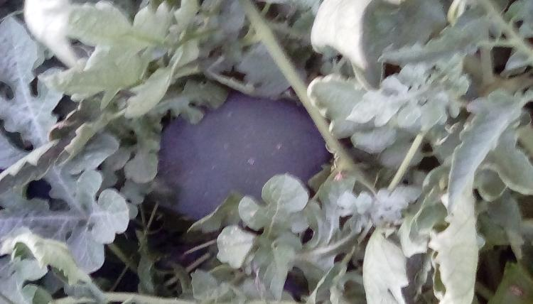 A dark watermelon fruit in the middle of watermelon foliage.