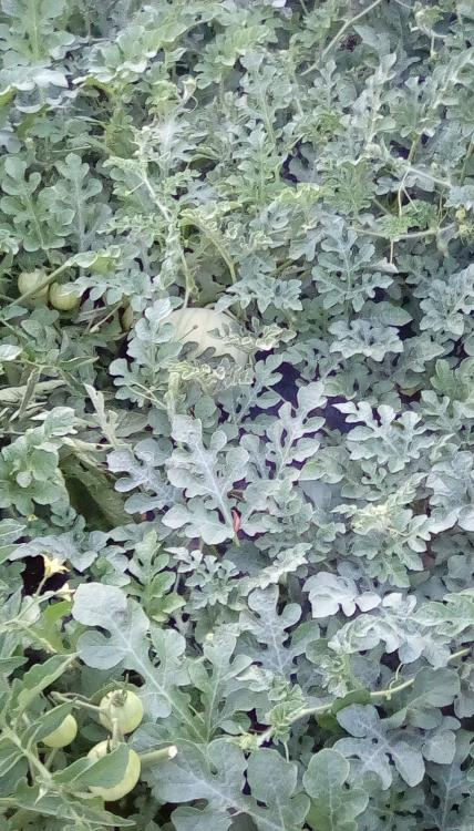Watermelon plants on black plastic in SW Idaho. A winter watermelon can be seen, as can some unripe tomatoes fruits, probably Early Girl F1.