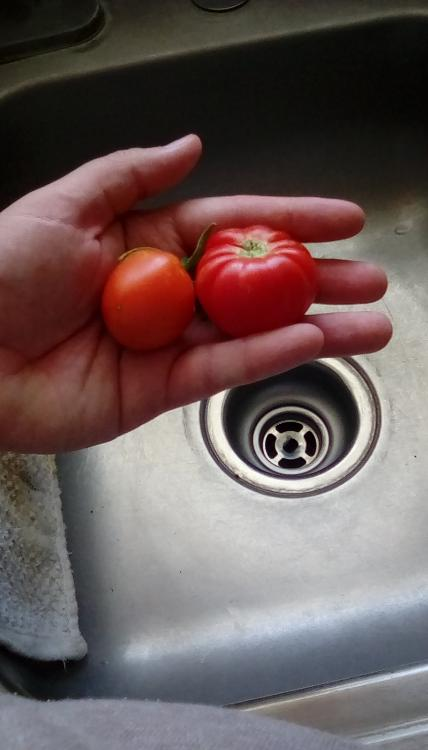 Frosty F. House, probable cross, tomato fruit, whole.