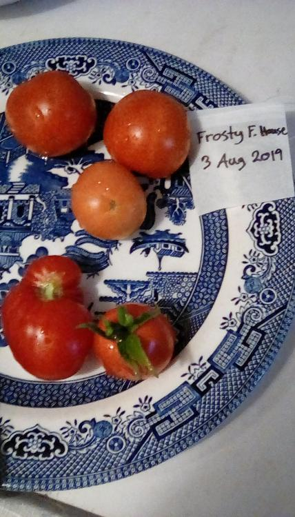 Frosty F. House probable cross tomato fruit, whole.