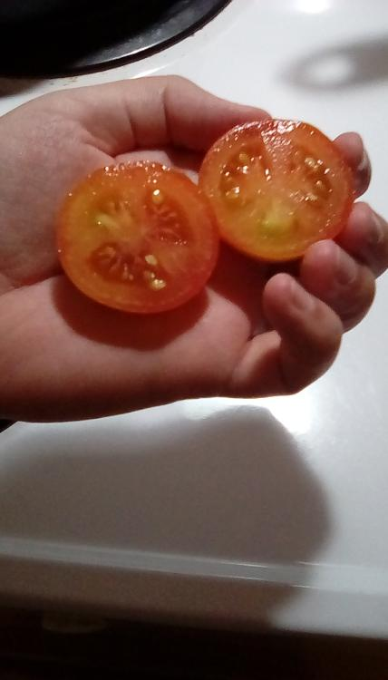 Nodak Early tomato fruit, cut.