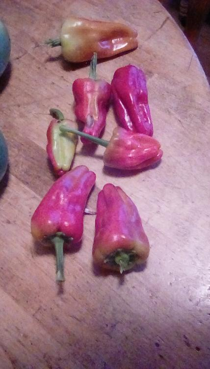 Neapolitan peppers on a wooden table.