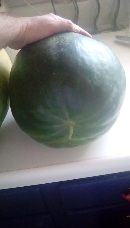 Corner Round watermelon, whole, with hand to help see the size.