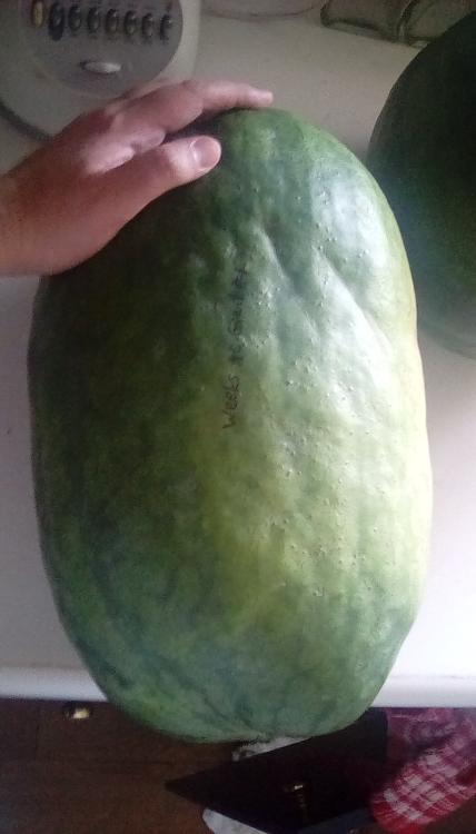 An 18lb Weeks NC Giant cross watermelon fruit, whole, with a hand on it. It is labeled with black marker. Part of another watermelon can be seen.