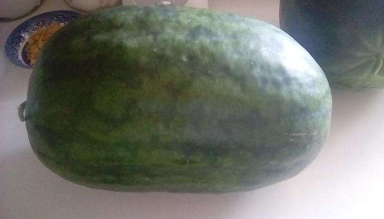 An 18lb Weeks NC Giant cross watermelon fruit, whole, on a countertop. Another watermelon can partially be seen.
