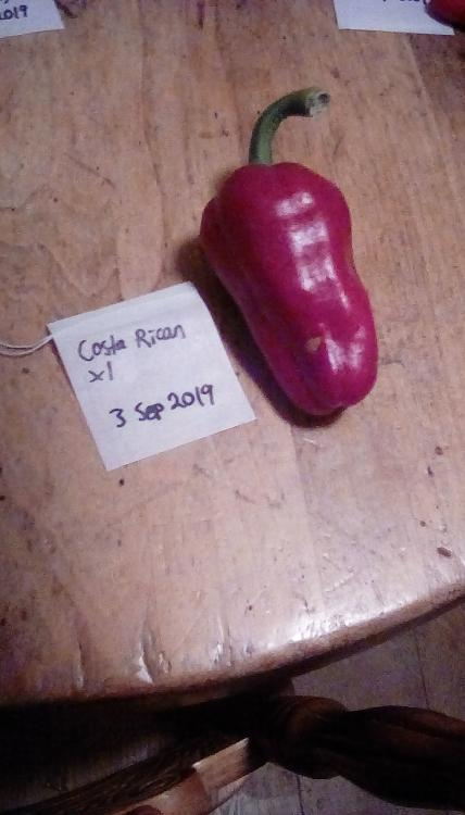 A red Costa Rican pepper fruit on a wooden table with a labeled empty herbal tea bag.