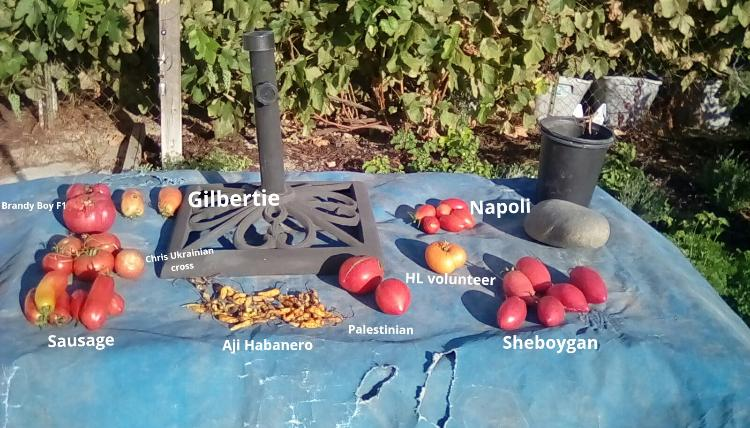 Palestinian tomato fruit, whole, and others.