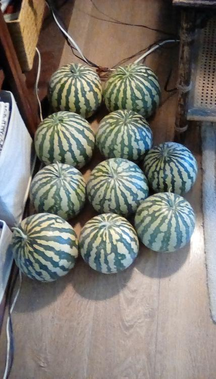 Ten Red-seeded Citron watermelons, whole, on the floor. AKA Colorado Preserving Melons.